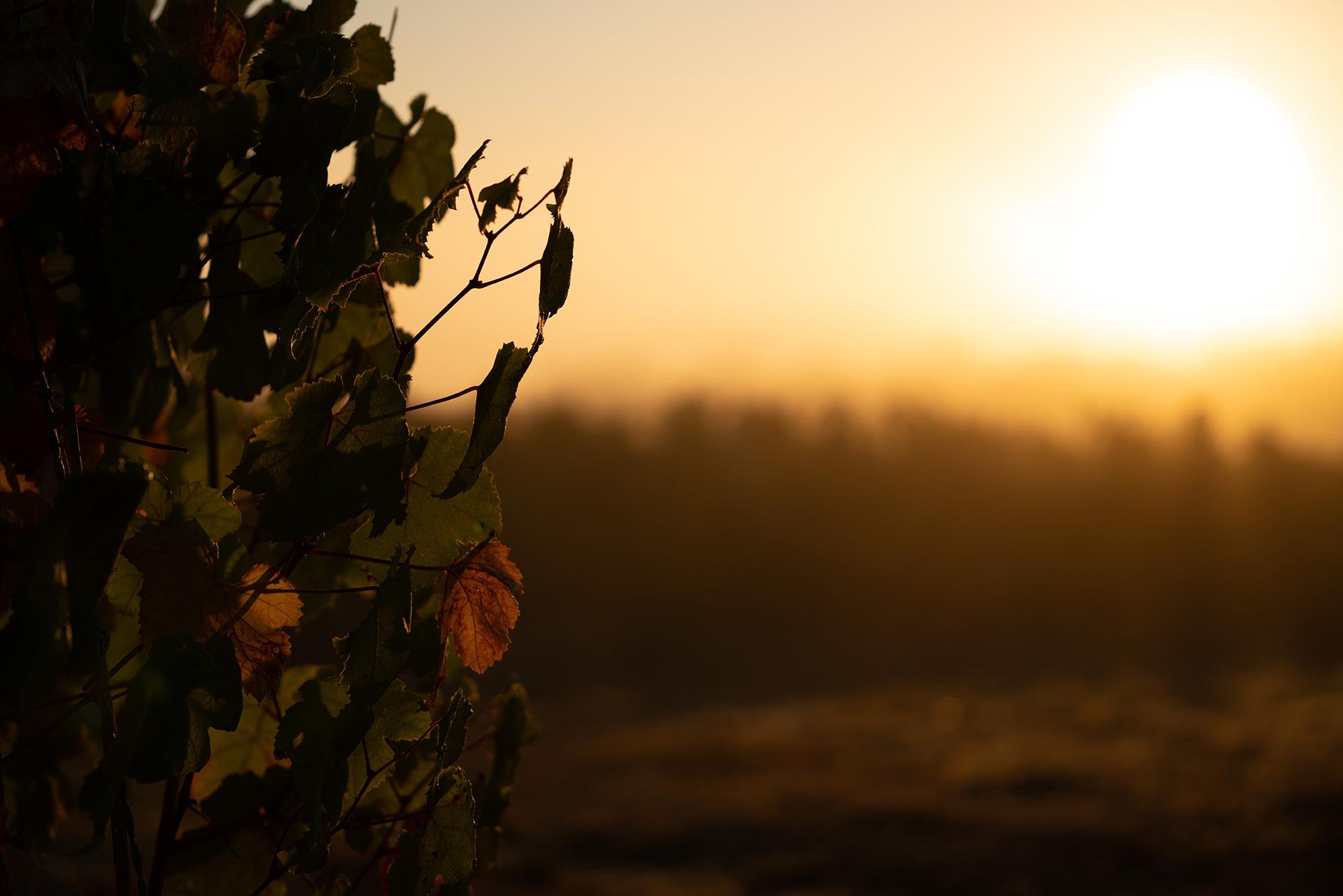 Photo d'illustration : levé de soleil dans les vignes